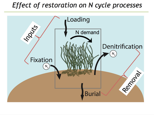 Seagrass restoration effect on nitrogen processes