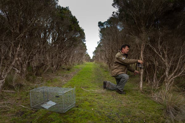 A worker at the park, Stuart Murphy, installing a device to trap animals that prey on the penguins.