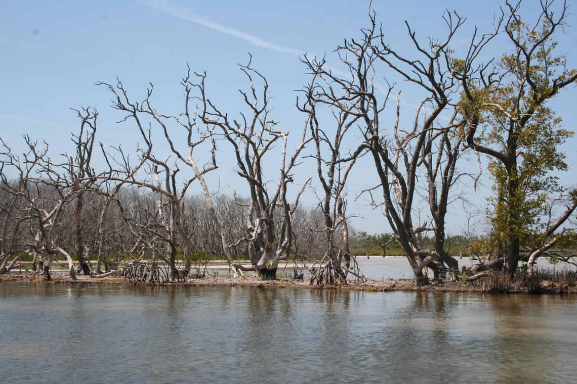 Dead and dying mangrove trees in shallow water