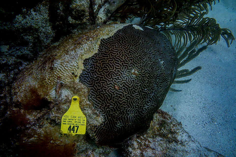 Divers along the Florida Reef Tract are encouraged to photograph and report the condition of tagged corals that have been treated with antibiotics.
