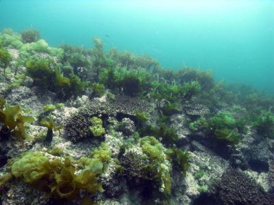 Corals grow alongside seaweed in temperate waters off southern Japan.
