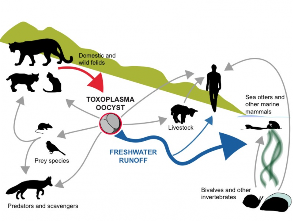 The life cycle of the parasite, Toxoplasma gondii, how it contaminates coastal waters and infects wild sea otters. (Credit: Karen C Drayer Wildlife Center, University of California, Davis)