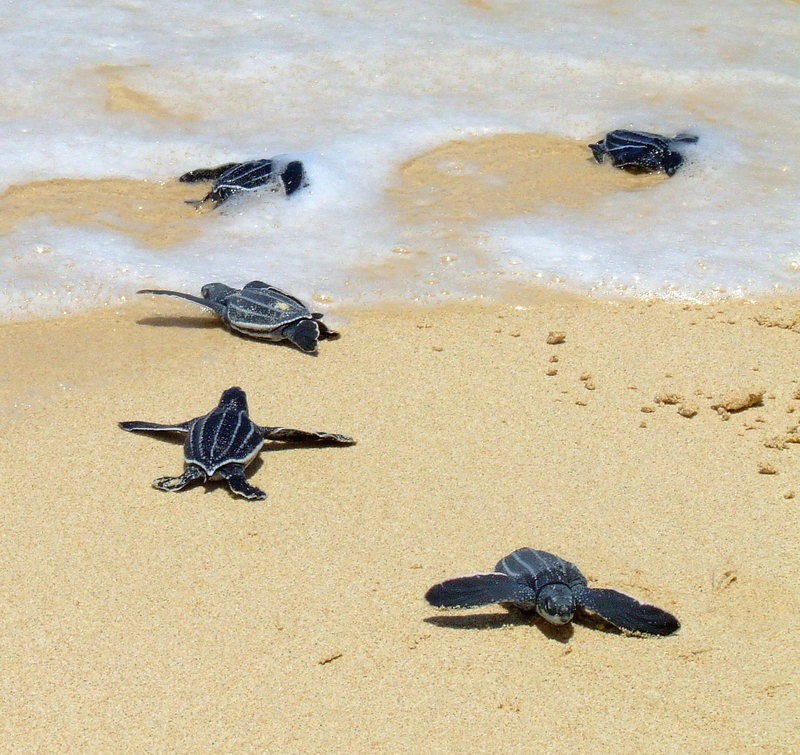 Baby leatherbacks approaching the relative safety of the sea.