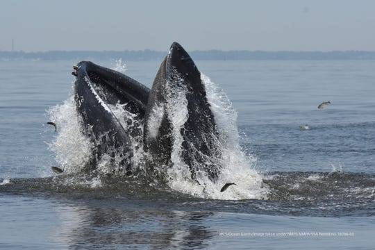 A humpback whale lunge-feeding on schooling fish known as menhaden in the waters of Raritan Bay.