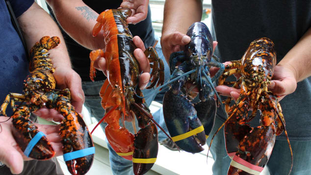 The crew of rare lobsters at the Maine Center for Coastal Fisheries.