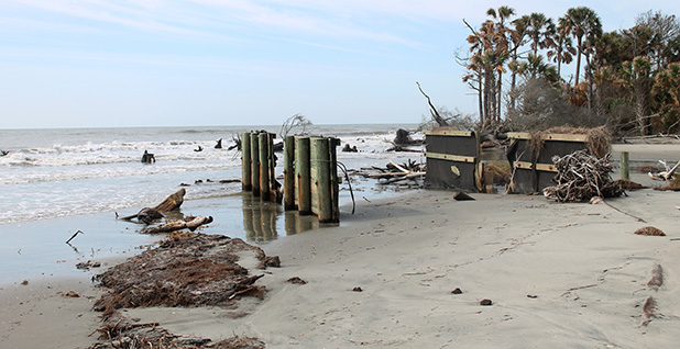 The remains of a maritime forest on Bulls Island, S.C. Photo credit: Chelsea Harvey/E&E News