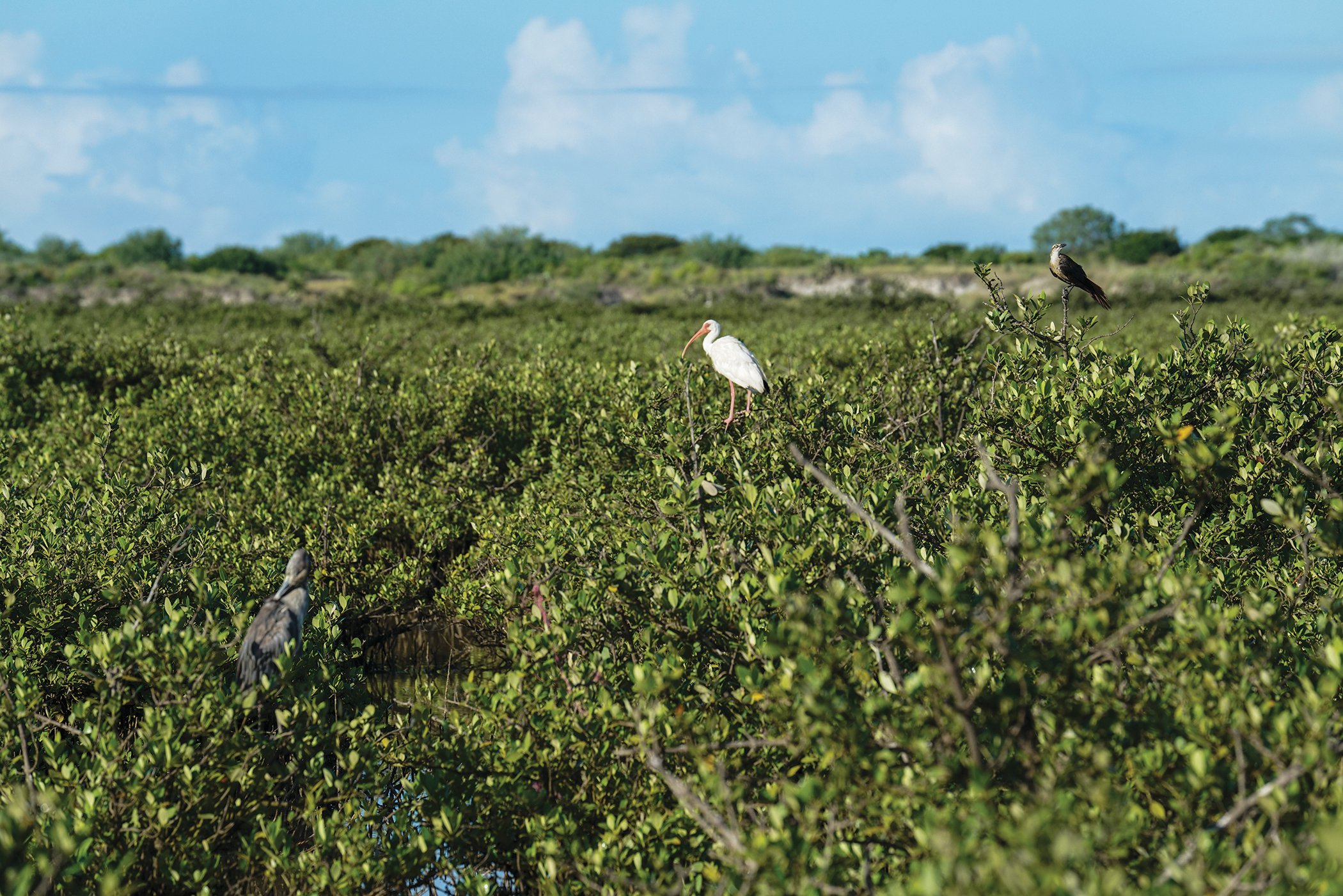 Birds perch among mangroves at a proposed LNG site.