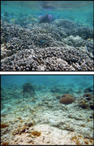 ABOVE: Before the storm finger coral thrive. BELOW: After Hurricanes Irma and Maria scoured the sea floor. (Photos by Caroline Rogers)
