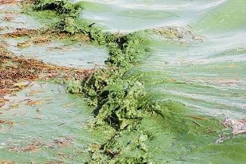 Toxic Algal Blooms