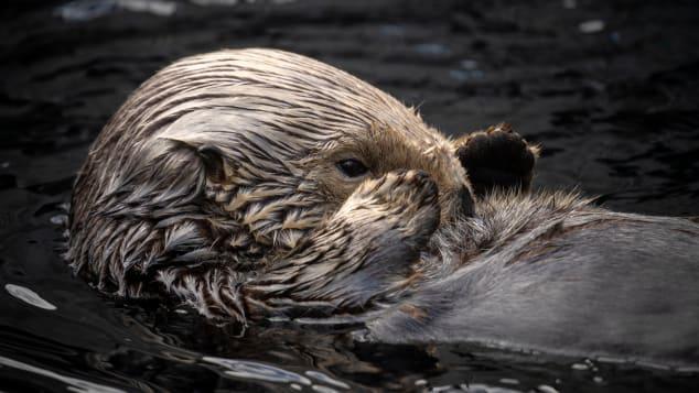 Sea otter Rosa swims in the sea otter exhibit.