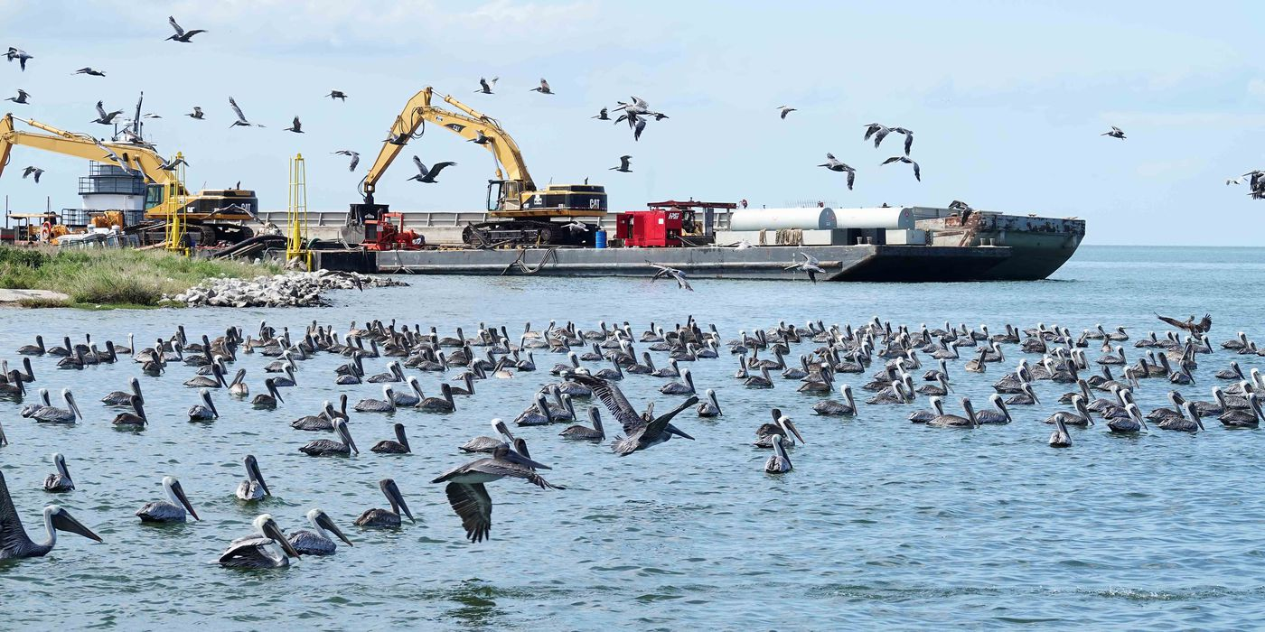 Brown pelicans near construction equipment being used on the Queen Bess restoration