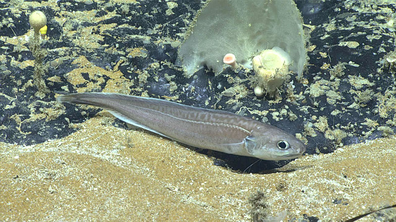A cusk-eel swims along the seafloor in the area of the Deep Sea Ventures site during Dive 07 of the 2019 Southeastern U.S. Deep-sea Exploration.