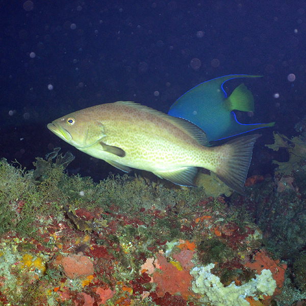 scamp swimming above a coral reef