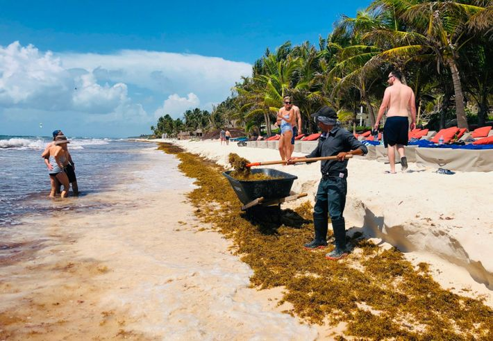 MEXICO-ENVIRONMENT-SEAWEED