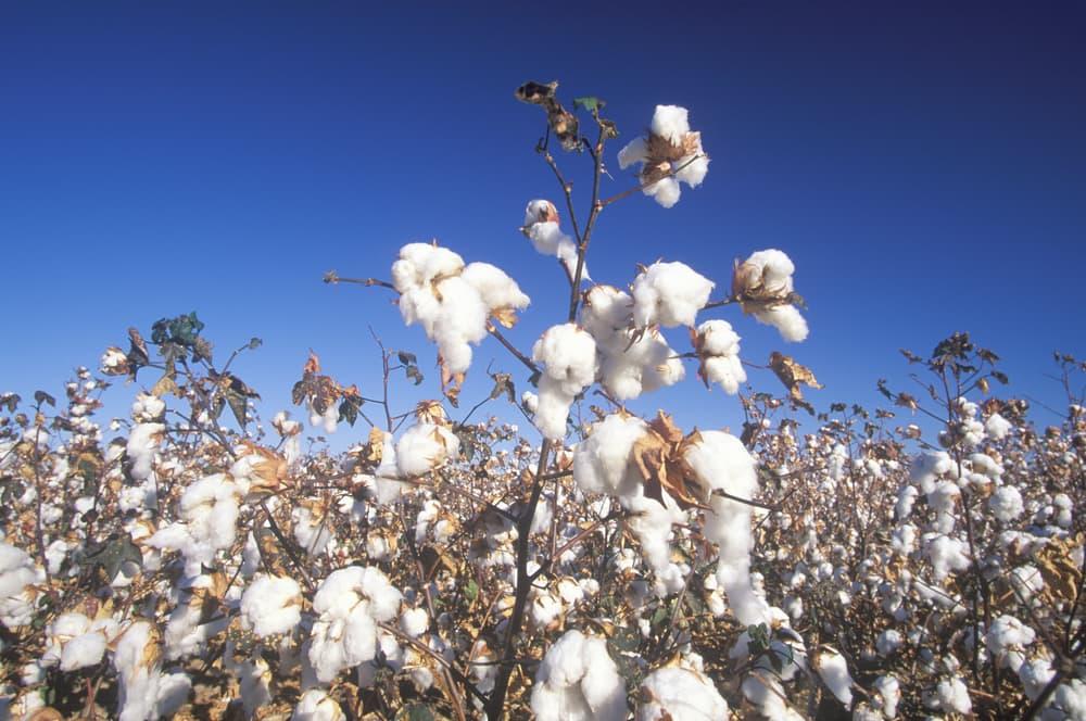 pima cotton plant