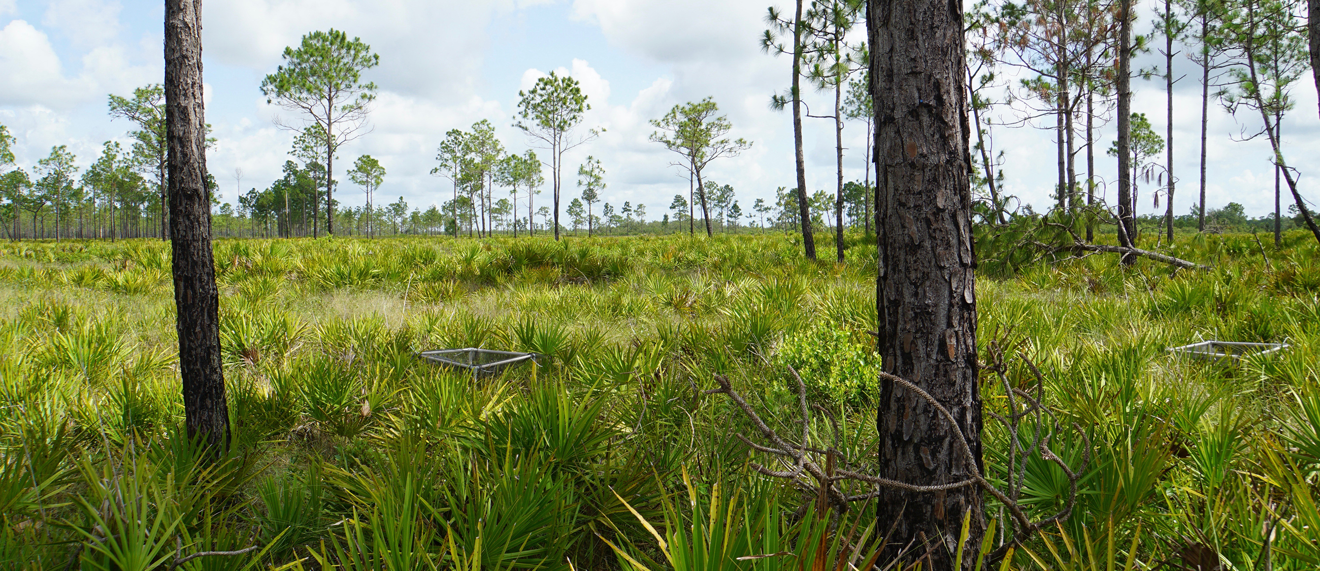 Pine savanna with seed traps at plot 10