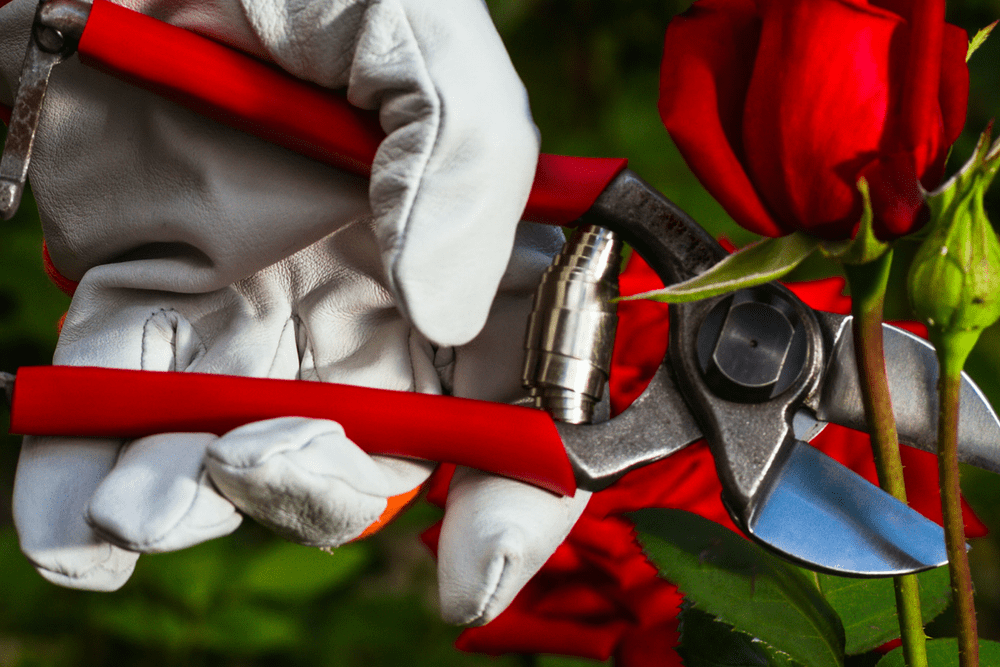 Roses In Garden: How Do You Prune Knock Out Roses?