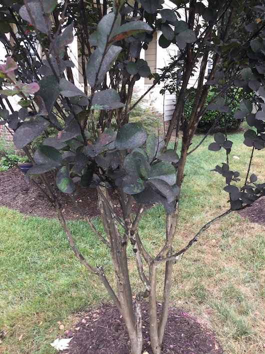 Aphids on Crepe Myrtle Canopy Lawn Care