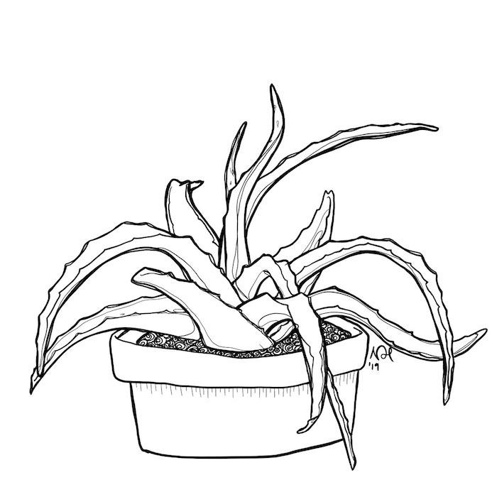 aloe drawing