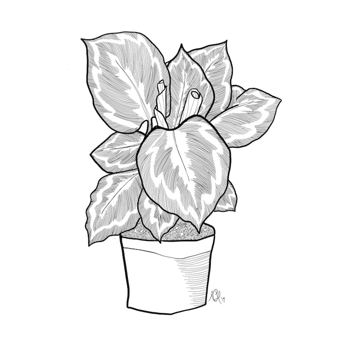 Black and white line drawing of a potted calethea.