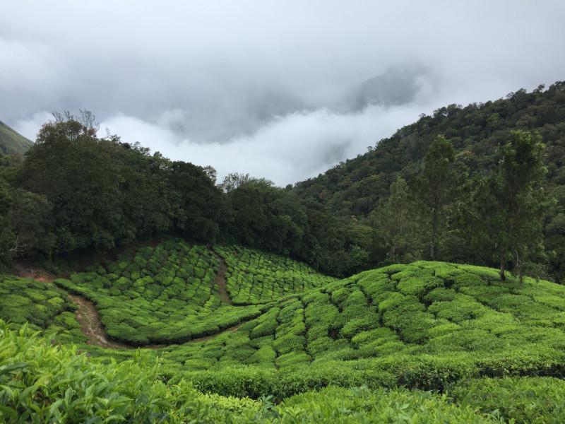 Cultivos de té