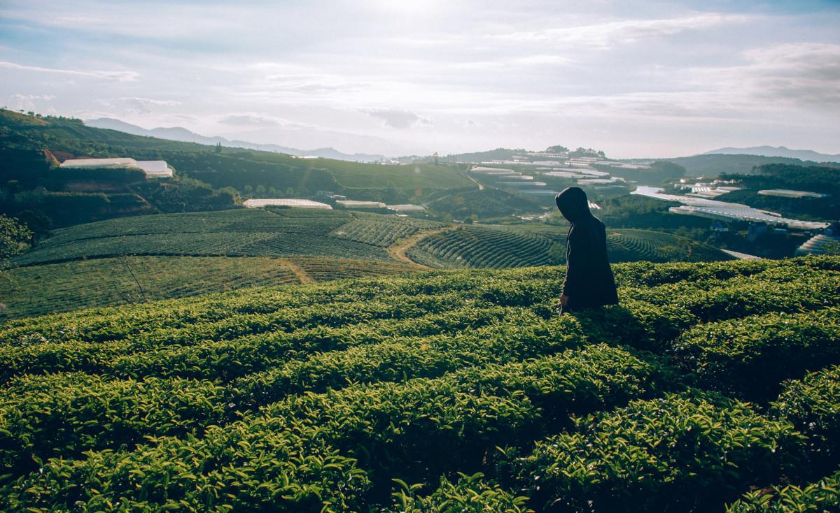 cultivo de té y vista al horizonte