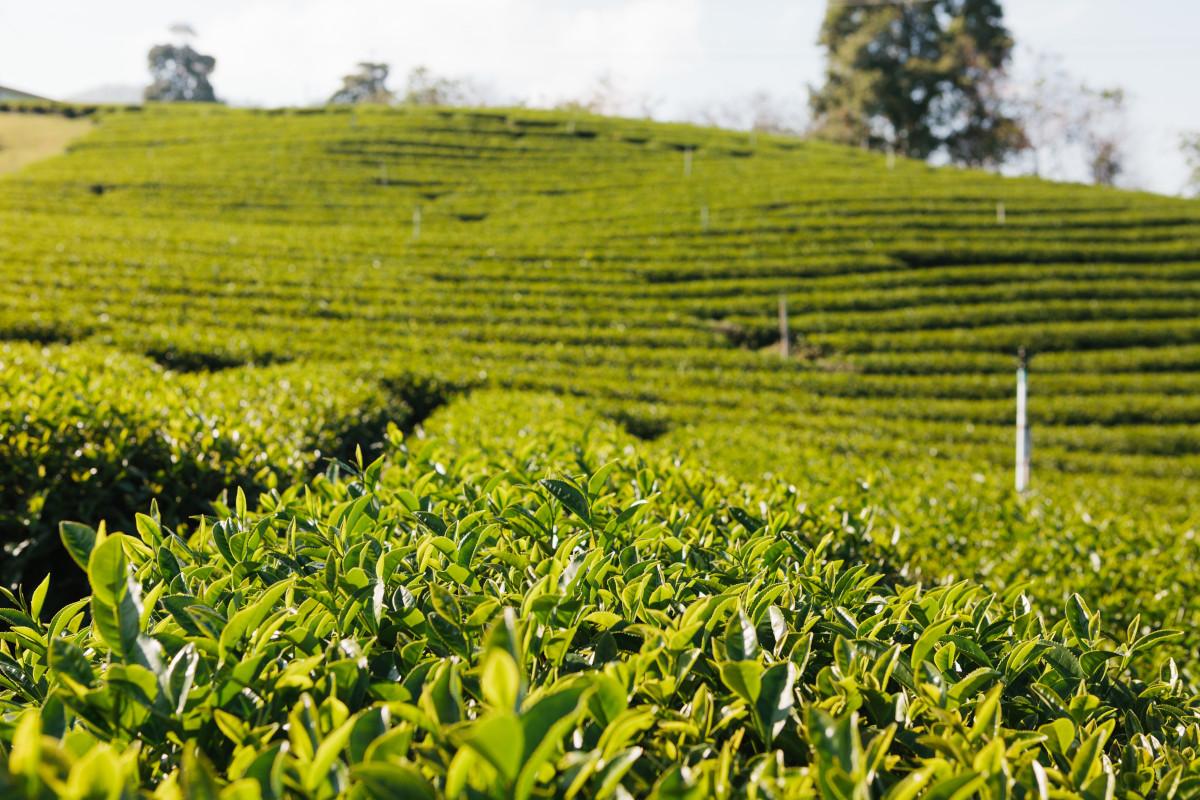 campo de té verde