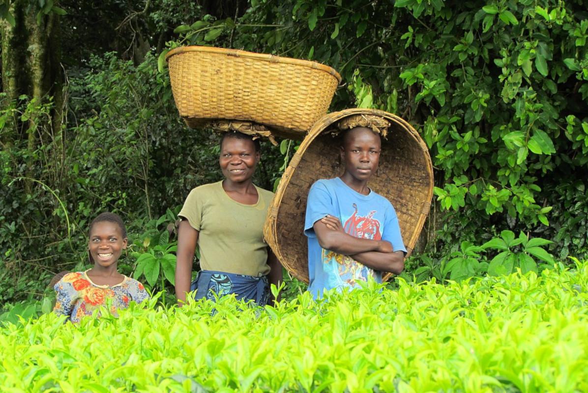 el mejor té blanco de malawi