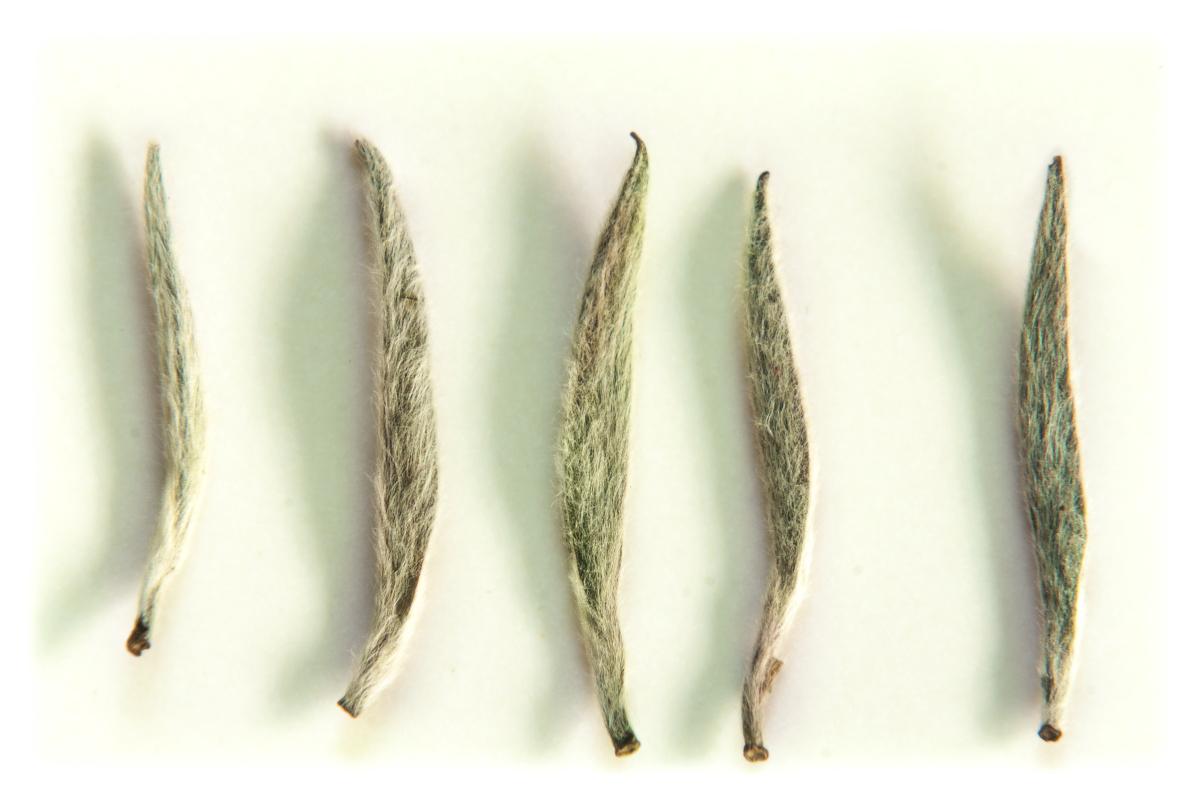 las hojas de los mejores tés blancos