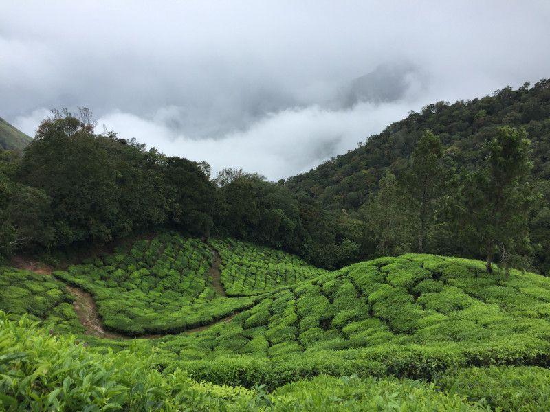 cultivo de té rojo