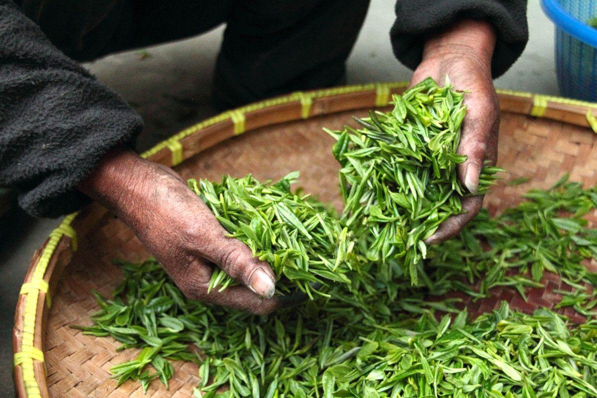 secando té para hacer oolong