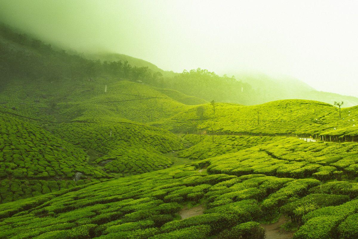 El mejor té verde: la geografía de un sabor