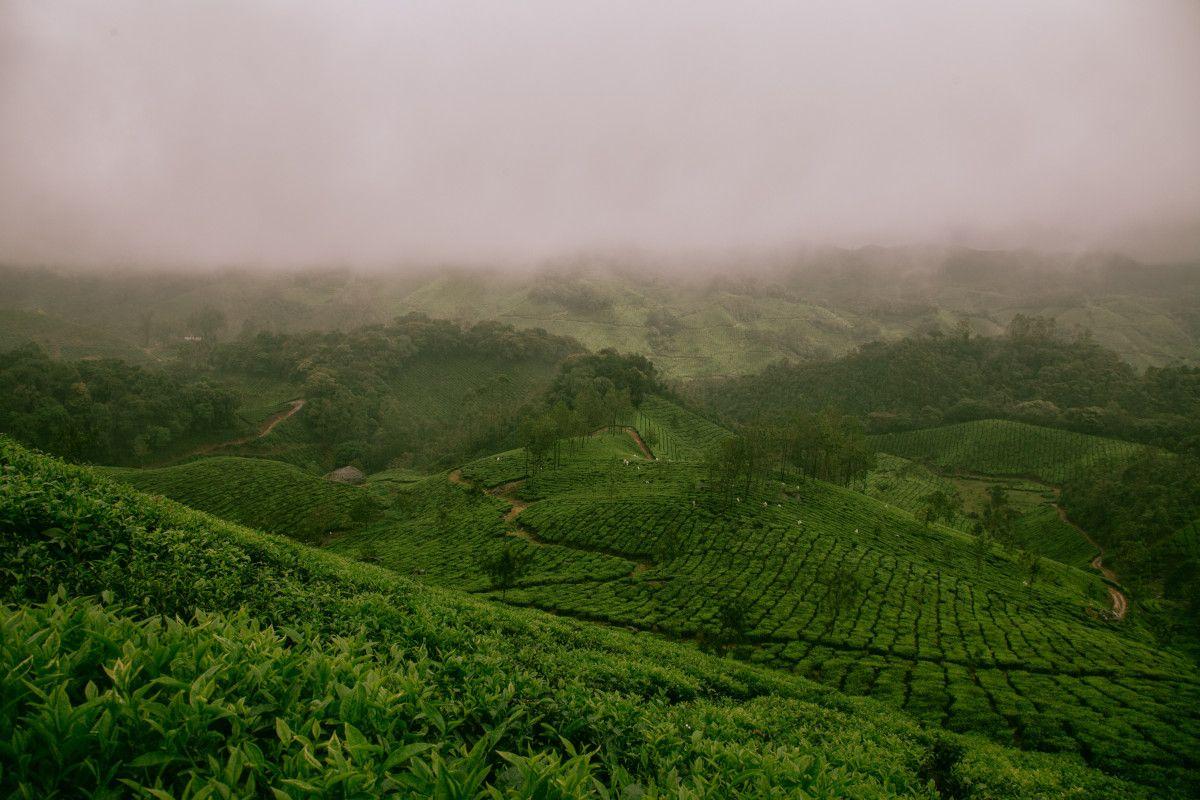 cultivo de té amarillo