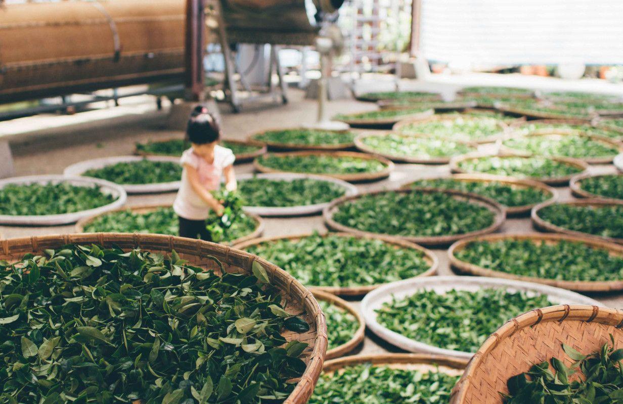 variedades de té verde