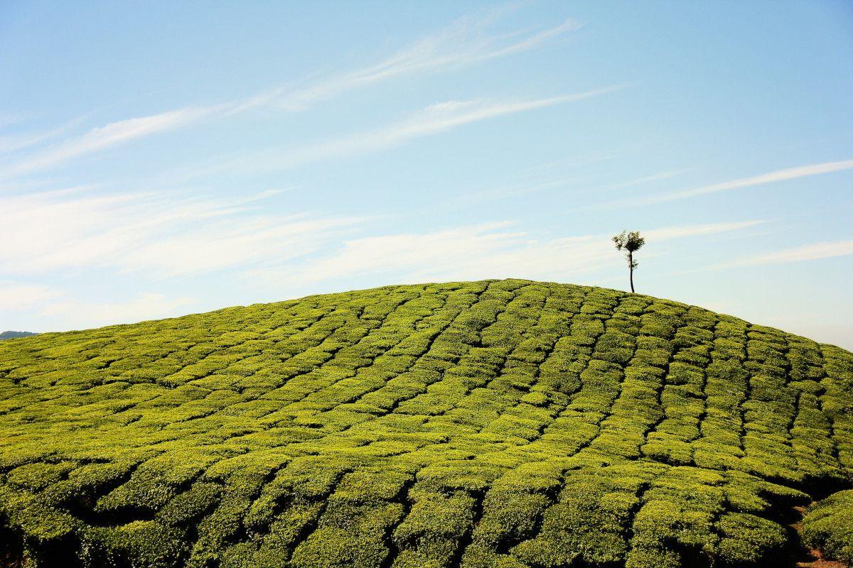 La historia de aventuras detrás del té Assam