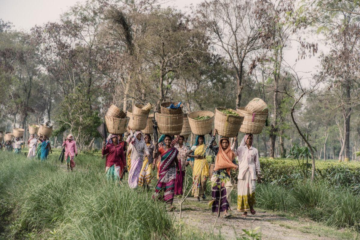cargando té de Assam