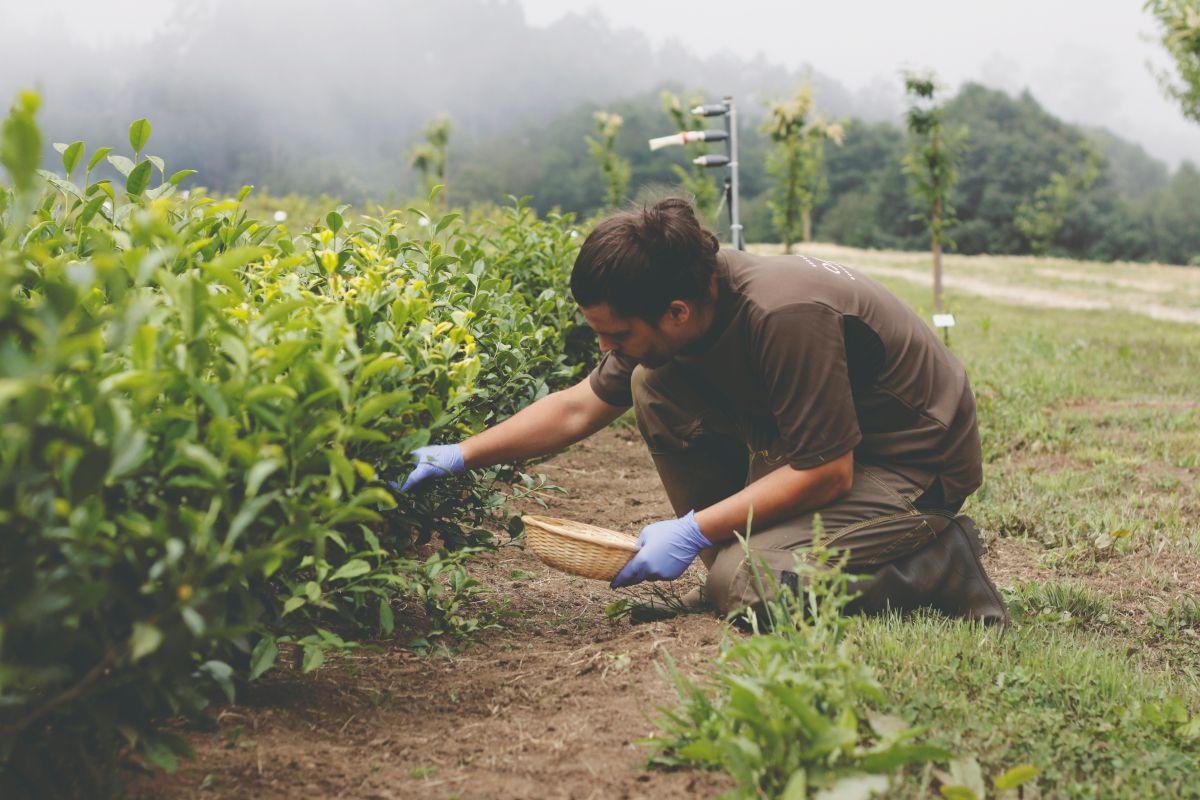 Cultivo de té en Galicia