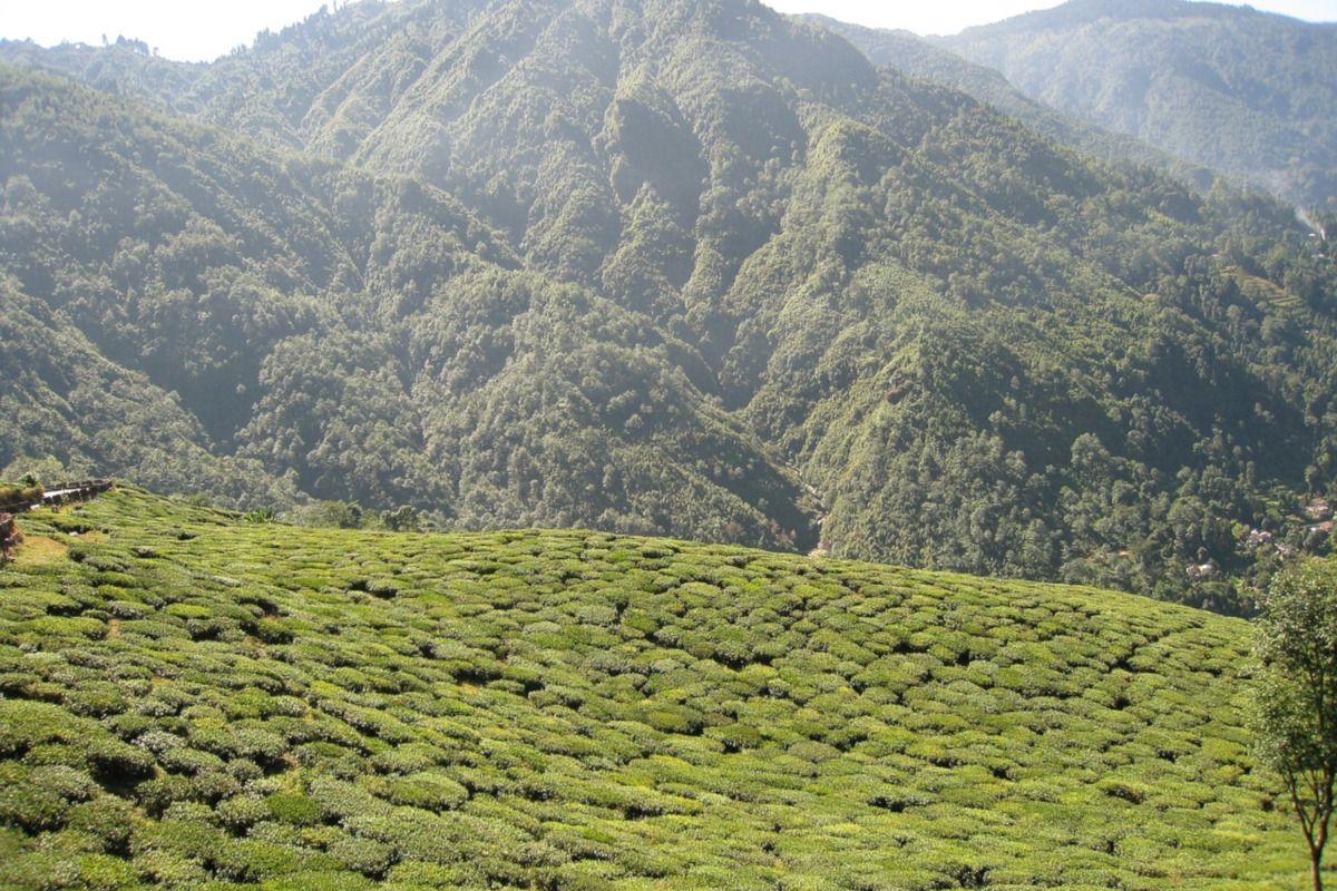 plantación de té en Darjeeling