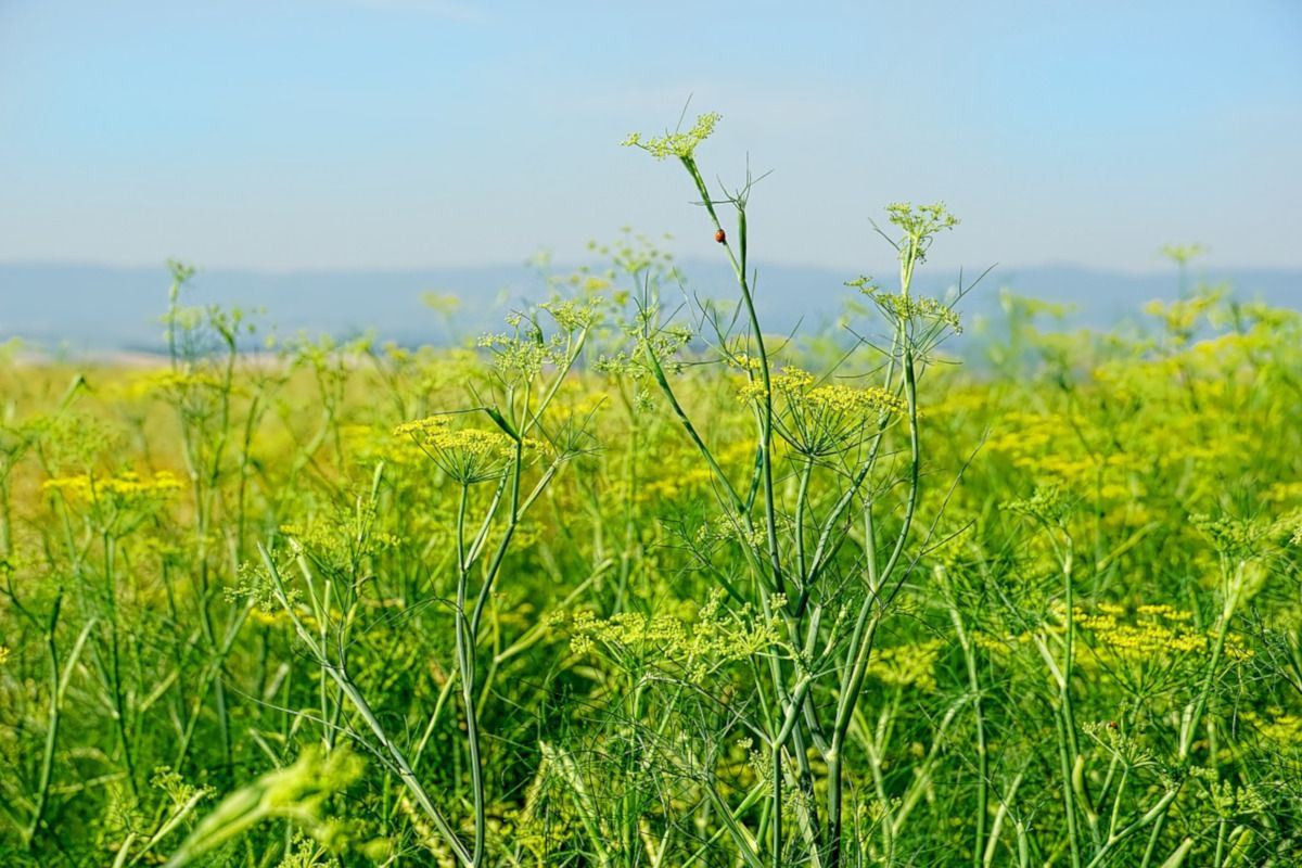 planta de hinojo