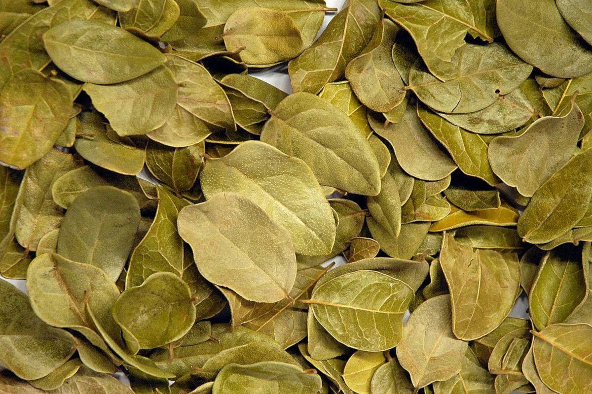 hojas secas de boldo