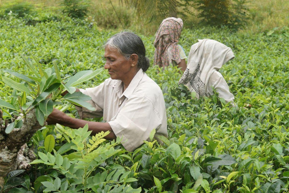 Viaje al origen del té