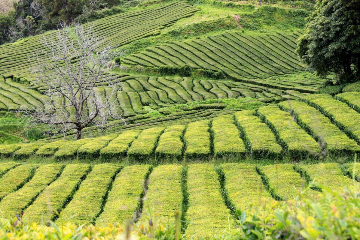 cultivo de té