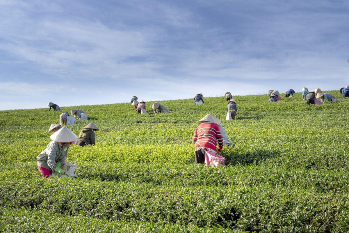 cosecha de té verde en Vietnam
