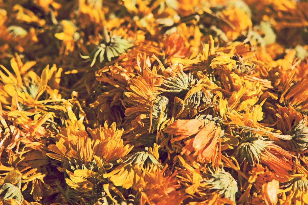flores secas de diente de león