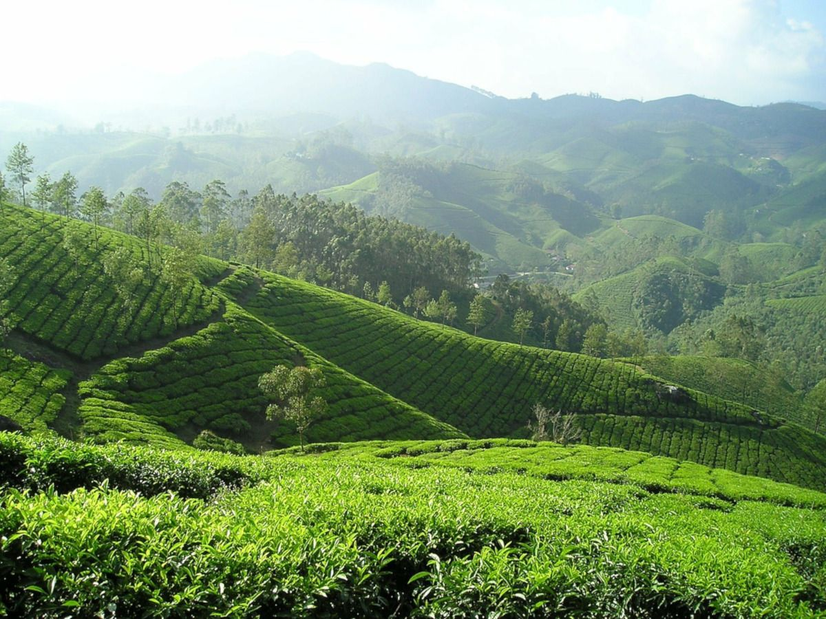 plantacion de te verde en India