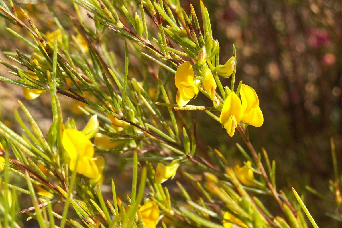 Rooibos verde, el rooibos con más poder antioxidante