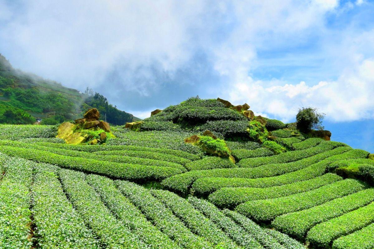 montaña plantada con té