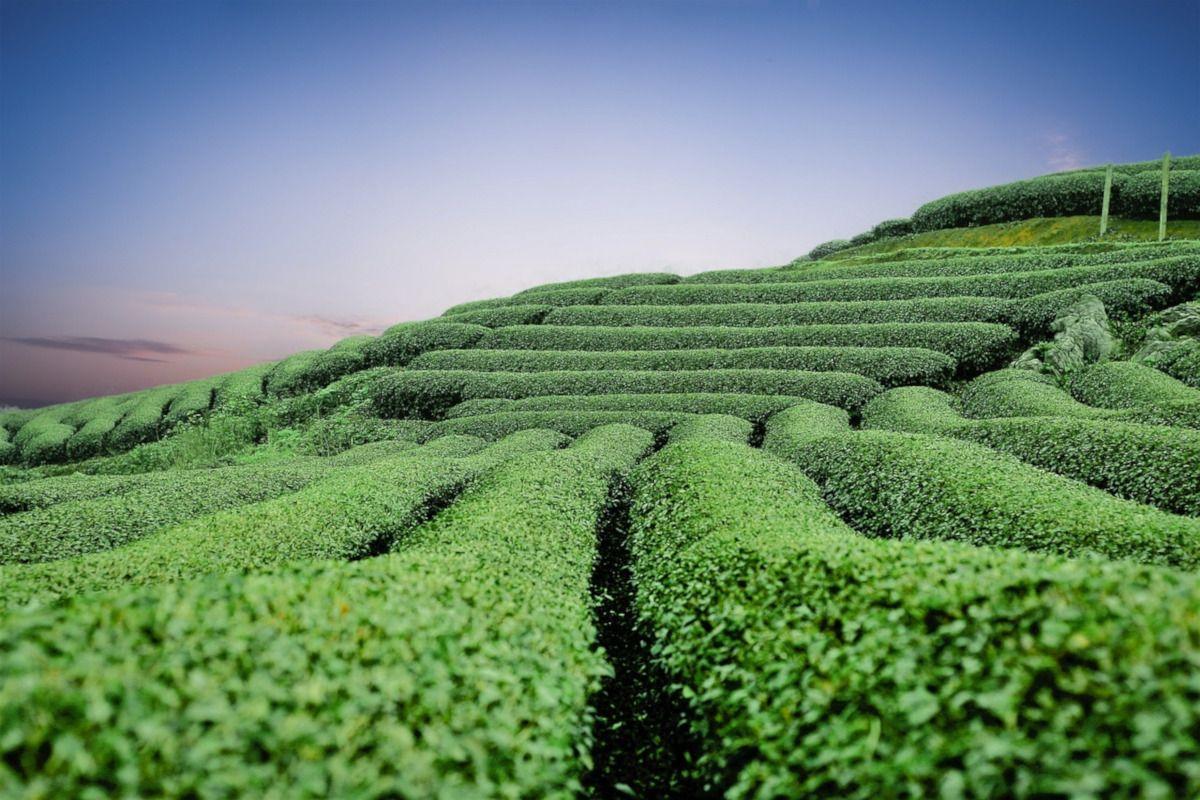 El ranking de los tés con más teína