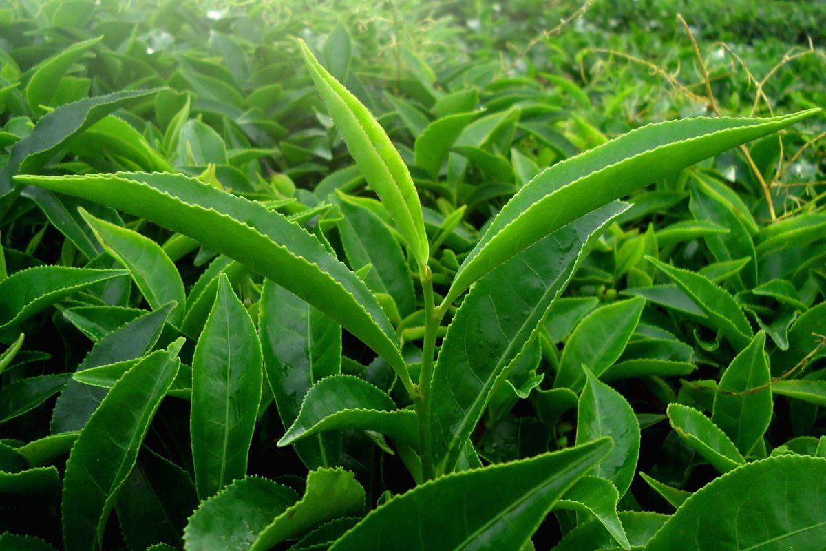 Qué es el extracto de té verde y en qué te puede ayudar