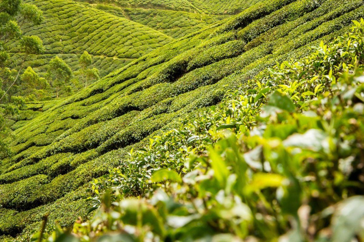 Dieta del té verde: ¿qué hechos la apoyan?